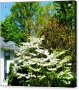 White Flowering Tree Acrylic Print