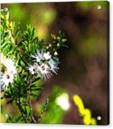 White Flowers Of Kunzea Ambigua Acrylic Print