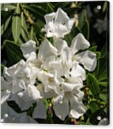 White Flowers On Green Leaves Acrylic Print