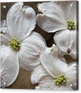 Dogwood White Flowers On Stones Acrylic Print