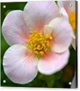 White Flowers With Pink And Yellow Acrylic Print