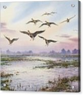 White-fronted Geese Alighting Acrylic Print by Carl Donner