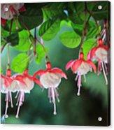 White Fuchsia Acrylic Print
