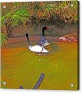 White, Geese, On, Pond Acrylic Print