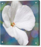 Winter White Geranium  Acrylic Print