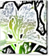 White Ginger Acrylic Print
