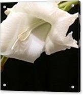 White Gladiolus Acrylic Print