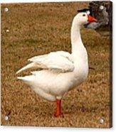 White Goose 2 Acrylic Print