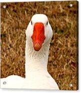 White Goose Close Up 1 Acrylic Print
