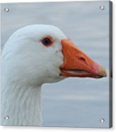White Goose Portrait Acrylic Print