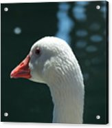 White Goose Sculpted By The Light Acrylic Print
