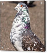 White-gray Pigeon Profile Acrylic Print