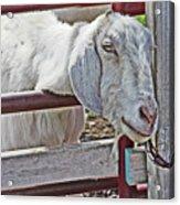 White/grey Goat Head Through Fence 2 6242018 Goat 2420.jpg Acrylic Print