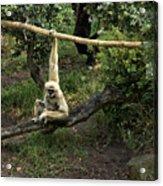 White Handed Gibbon 2 Acrylic Print