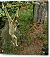 White Handed Gibbon 3 Acrylic Print