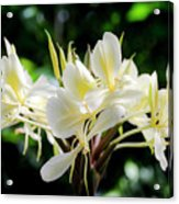 White Hawaiian Flowers Acrylic Print