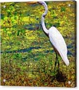 White Heron 1 Acrylic Print