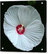 White Hibisci #18 Acrylic Print