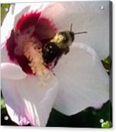 White Hibiscus Bloom With Bumble Bee Acrylic Print