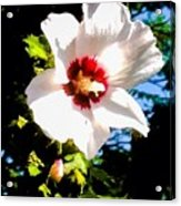 White Hibiscus High Above In Shadows Acrylic Print