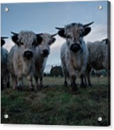 White High Park Cow Herd Acrylic Print