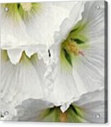 White Hollyhocks Acrylic Print