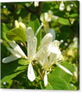 White Honeysuckle Blossoms Acrylic Print