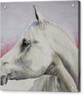 White Horse- Arabian Acrylic Print