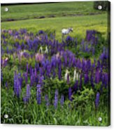 White Horse In A Lupine Field Acrylic Print