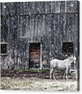 White Horse In A Snowstorm  Acrylic Print