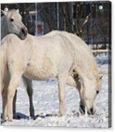 White Horses In The Snow  Acrylic Print