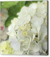 White Hydrangea At Rainy Garden In June, Japan Acrylic Print