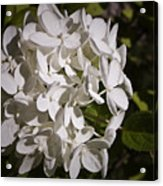 White Hydrangea Bloom Acrylic Print