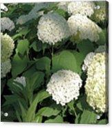 White Hydrangea Bush Acrylic Print