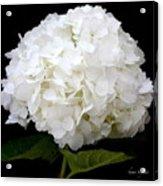 White Hydrangea Acrylic Print