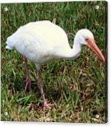 American White Ibis Bird Acrylic Print