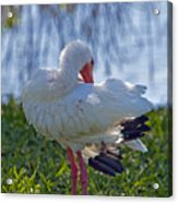 White Ibis Dries Off Acrylic Print