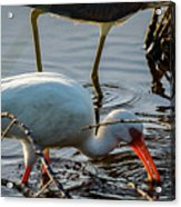 White Ibis Eating Acrylic Print