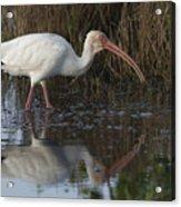 White Ibis Feeding Acrylic Print