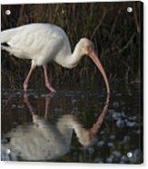 White Ibis Feeding In Morning Light Acrylic Print