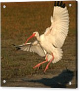 White Ibis Landing Upon Ground Acrylic Print