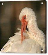 White Ibis Placid Preening Acrylic Print