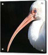White Ibis Profile Acrylic Print