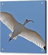 White Ibis Soaring Acrylic Print