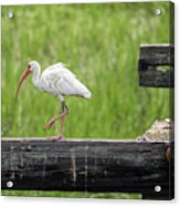 White Ibis Stepping Out Acrylic Print