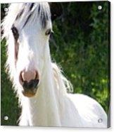 White Indian Pony Acrylic Print