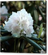 White Inflorence Of  Rhododendron Plant Acrylic Print