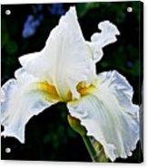 White Iris At Pilgrim Place In Claremont-california Acrylic Print