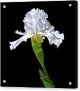White Iris On Black Background Acrylic Print