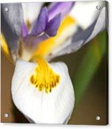 White Iris One Acrylic Print